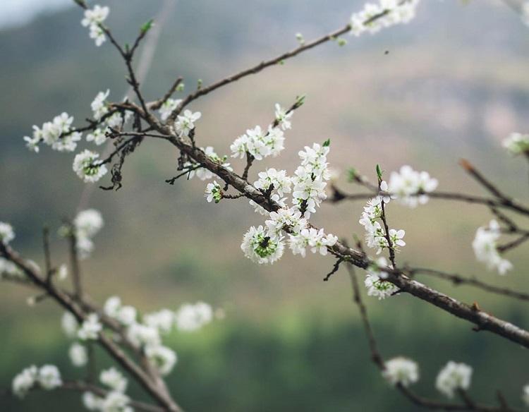 Du lịch Sapa tháng 3 ngắm hoa Lê